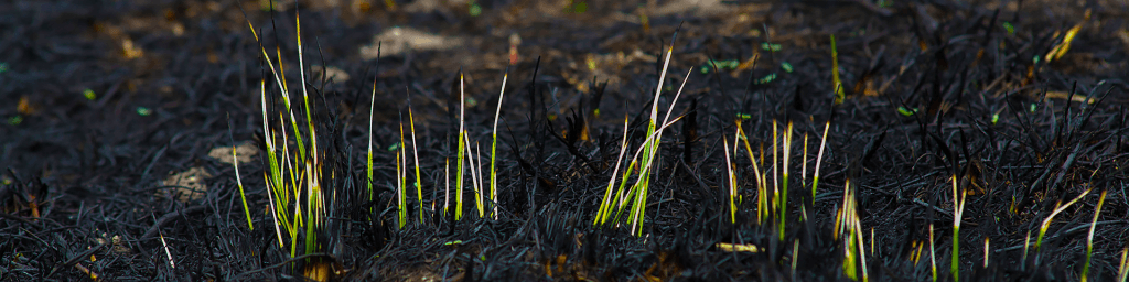 growing shoots after a fire